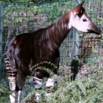 Berlin Zoo - okapi